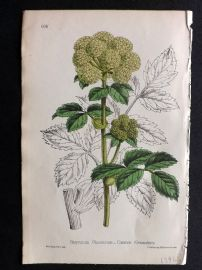 Hogg & Johnson C1870 Antique Hand Col Botanical Print. Common Alexanders 606